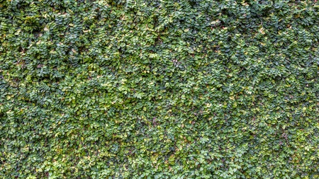 Climbing Fig or Creeping Fig on Wall Background