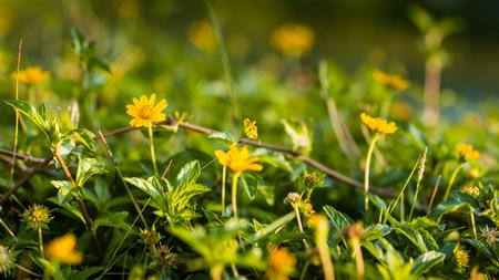 yellow star: Little Yellow Star Flower Background Stock Photo