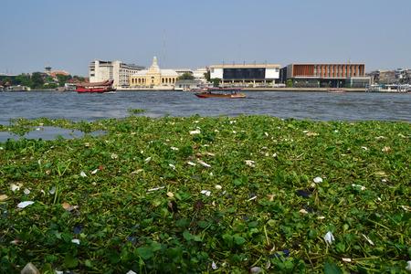 water hyacinth in river Bangkok photo