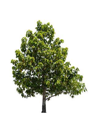 tropen en subtropen boom geïsoleerd op witte achtergrond