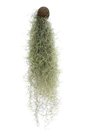 Spanish moss isolated on white background Standard-Bild