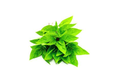 Basil leaves isolated on white background. Green ocimum basilicum Linn leaf.