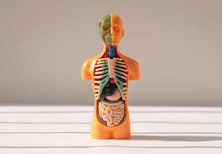 3d human model with inner organs inside. Medical anatomical concept.