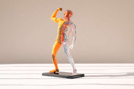 Human body 3d model without skin with muscular and circulatory systems. Anatomical structure. Stock Photo