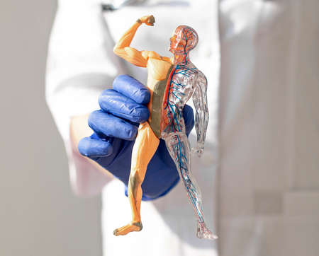 Hands holding skinless human body 3d model. Body circulatory and muscular systems. Anatomy medical concept. Stock Photo