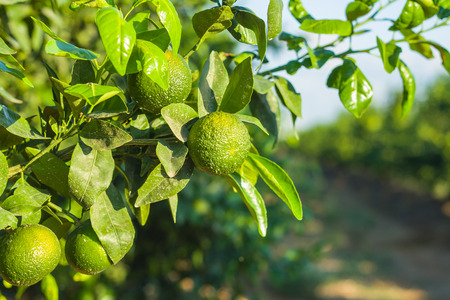 Green tangerines on a branch in a tangerine grove Stock Photo - 22887900