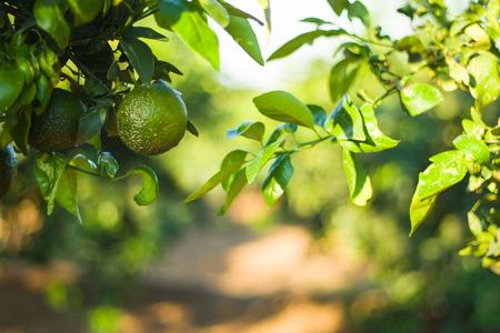 Mandarinas verdes en una rama en un bosque de mandarina photo