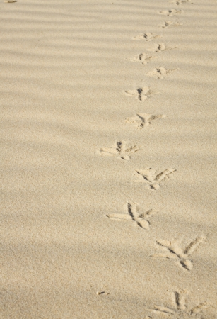 footprints in the sand of a bird photo
