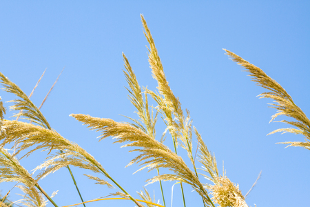 Beautiful photo reed against the blue sky.Israel photo