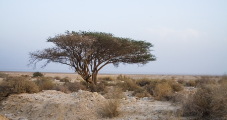 negev: Lonely tree in desert of the Negev Stock Photo