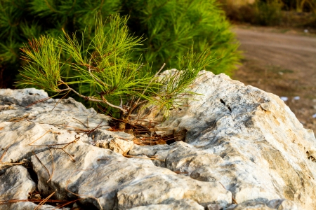 trebic: A beautiful photo of a young pine tree on a rock