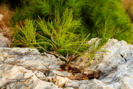 A beautiful photo of a young pine tree on a rock