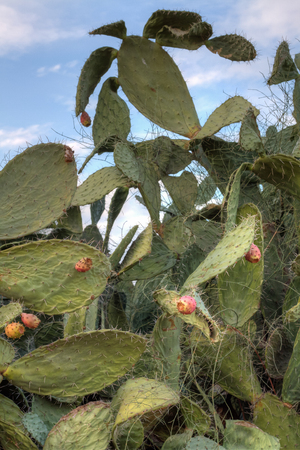 Fruits of tzabar cactus, or prickly pear  Opuntia ficus Indica  photo