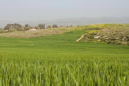 Wheat field and countryside scenery . Winter in Israel . Standard-Bild