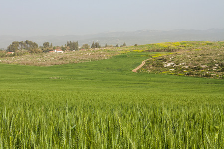 Wheat field and countryside scenery . Winter in Israel . Stock Photo