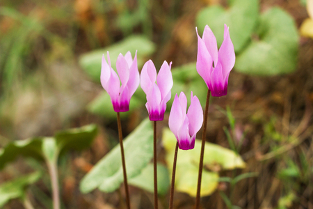 sowbread: Wild cyclamens close up Cyclamen hederifolium in forest