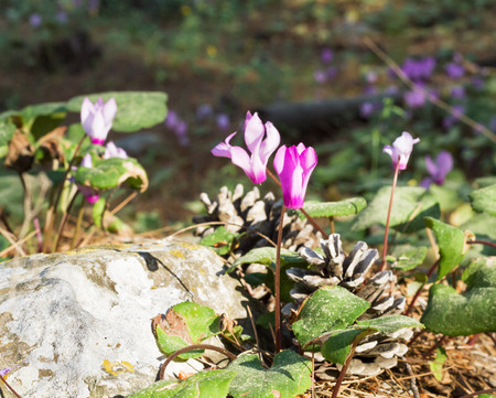 Wild cyclamens close up Cyclamen hederifolium in forest photo