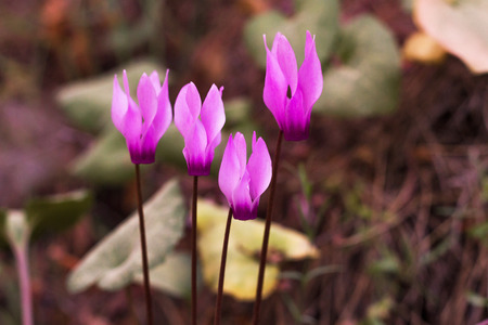 Wild cyclamens close up.Cyclamen hederifolium in forest photo