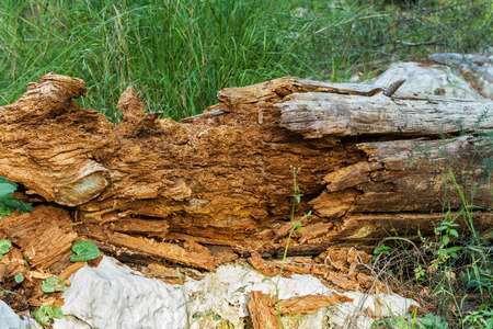 Photo rotten wood lezhasego on the forest floor. photo