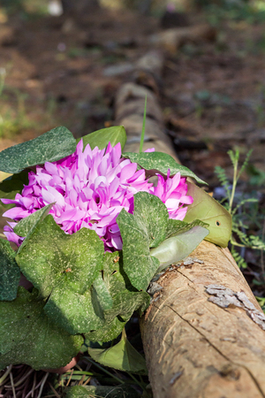 sowbread: Wild cyclamens close up.Cyclamen hederifolium in forest Stock Photo