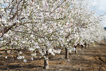 Beautiful photo of blooming almond trees.