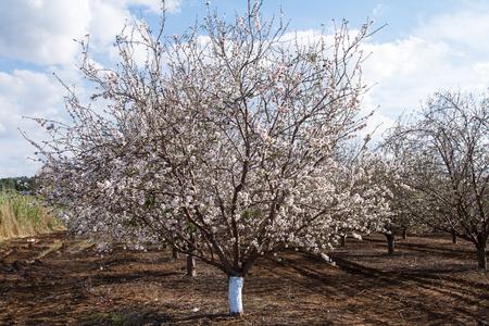 israel farming: Beautiful photo of blooming almond trees.