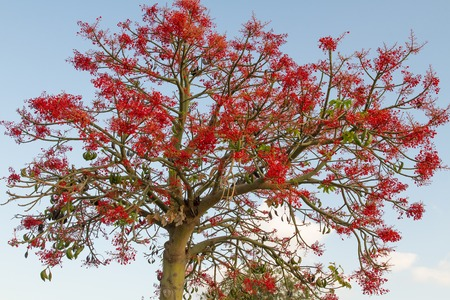 bell shaped: The Australian Brachychiton acerifolius, commonly known as the Illawarra Flame Tree, flowering in summer on a bare leafless tree is a glorious sight with its bright  red bell shaped blooms.