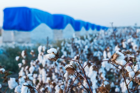 Cotton balls on the plant ready to be harvested , Israel . Stock Photo
