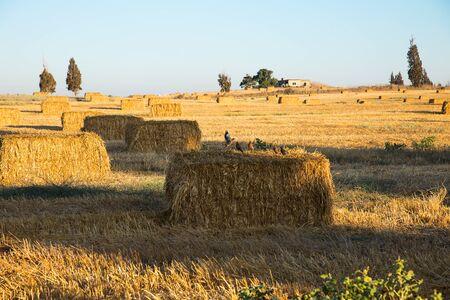 Beveled wheat field at sunset, haystacks . Foto de archivo - 132110053