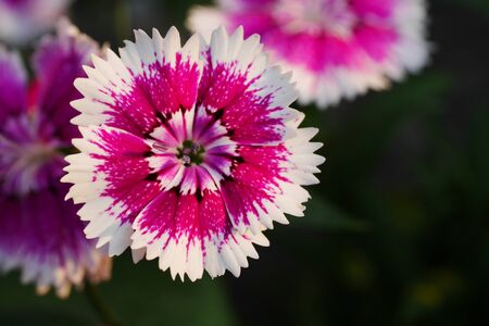 Close up shot of the Dianthus pink flowers.