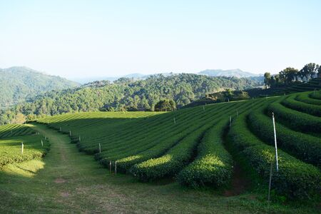 oolong tea: Oolong tea in Chiangrai Thailand