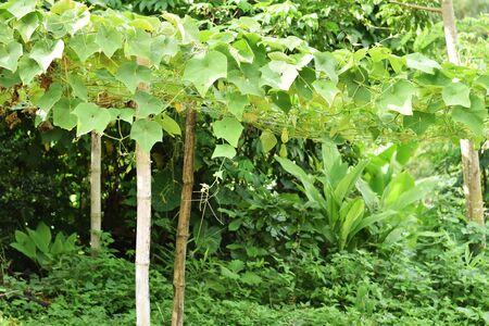 chayote: Chayote plant