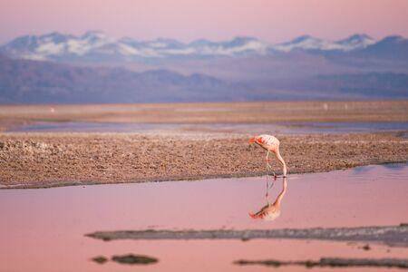 flamingo on the north of chile, san pedro de atacama