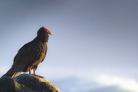 a stunning vulture over a stone watching everything Banco de Imagens