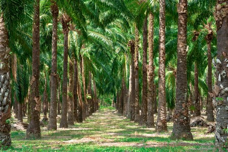 oil palm: Rows of oil palm tree in south of Thailand. Stock Photo