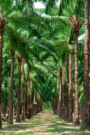 oil palm: Rows of oil palm tree