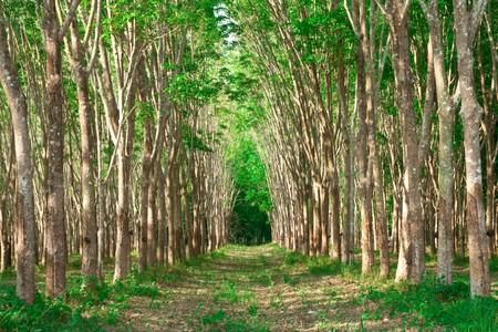 Rows of para tubber tree garden, Thailand photo