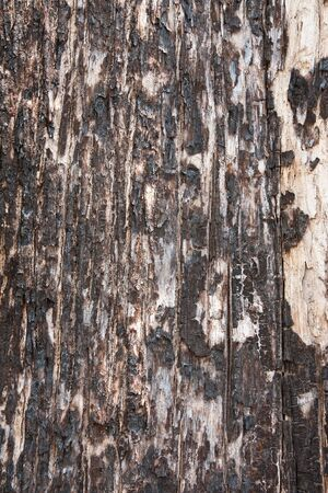 Texture of old tree peel after wildfire burned photo