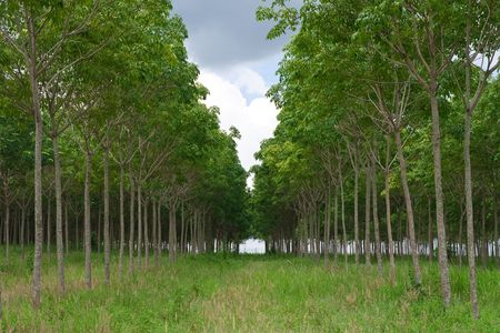 para: Rows of para rubber tree in Thailand