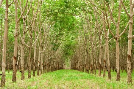 Para rubber tree gardenning in Thailand photo