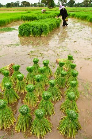 traditional plants: Traditional Thai style rice growth Stock Photo
