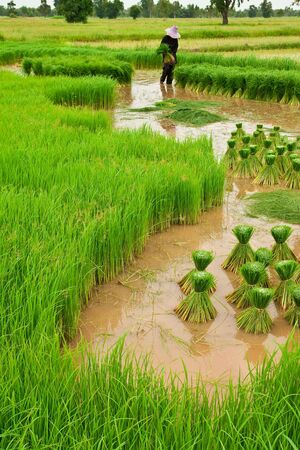 Traditional Thai style rice growth photo