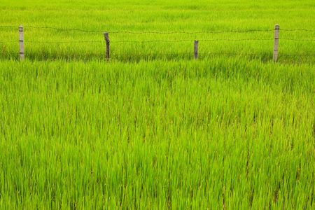 deliverance: Fence in rice field, Thailand