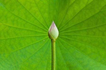Lotus and lotus leaf photo