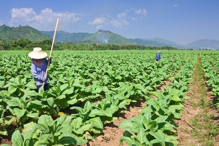Tobacco planting in north of Thailand Stock Photo - 5977465