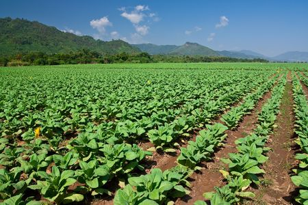 tobacco plants: Tobacco planting in north of Thailand