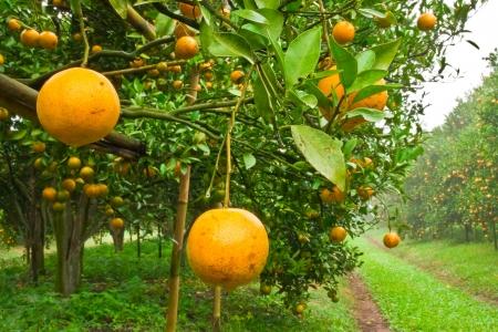 citricos: Jard�n naranja al norte de Tailandia Foto de archivo