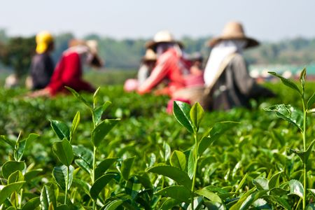 Tea leaves picking, north of Thailand photo