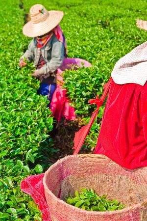 farm worker: Tea leaves picking, north of Thailand