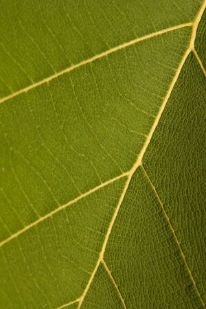 texture of teak wood leaf photo